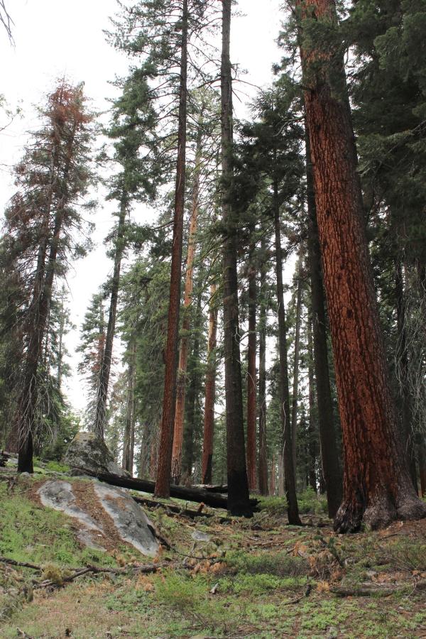 SequoiaIMG_8265