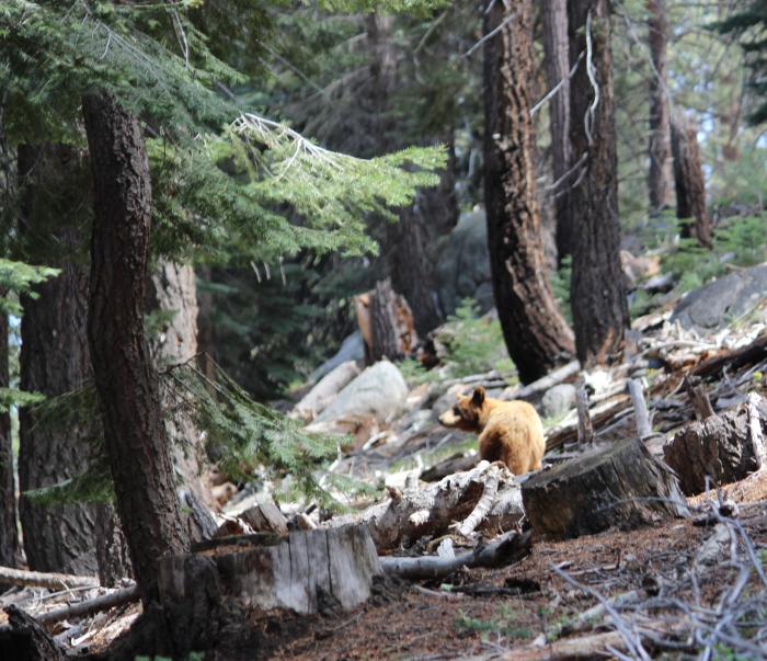 Bear near Glacier Point