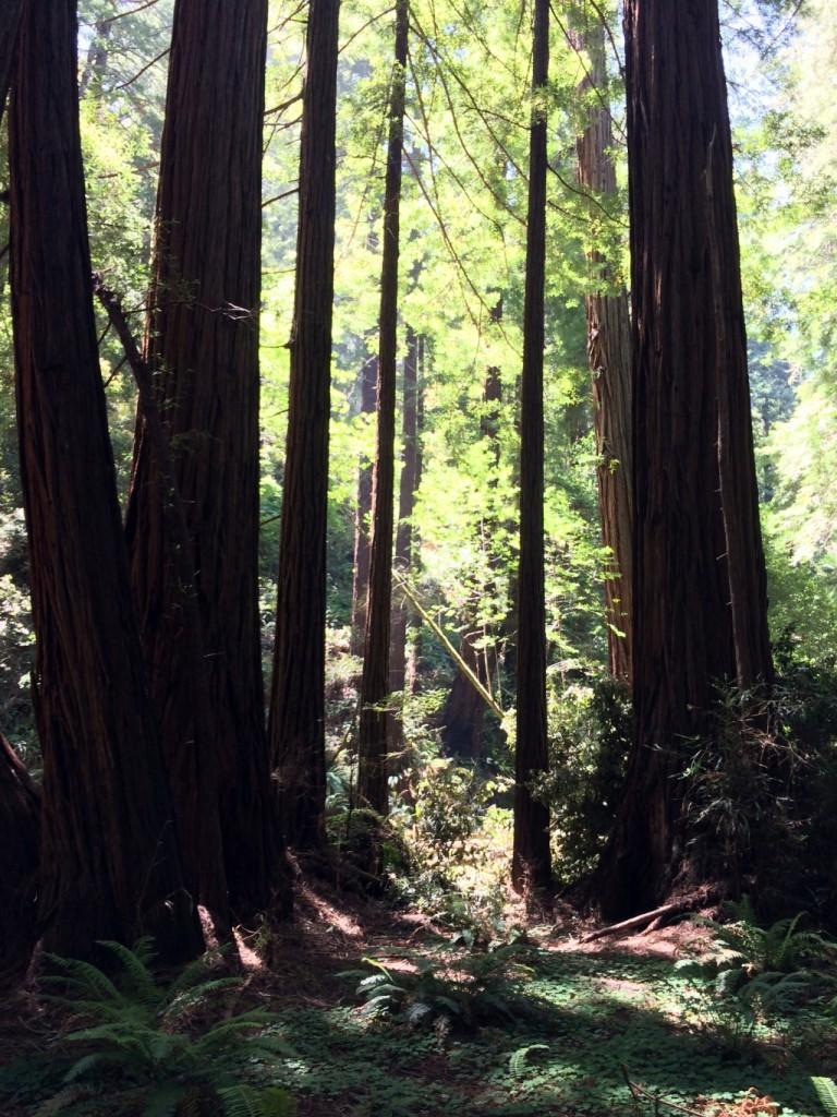 Muir WoodsIMG_3714